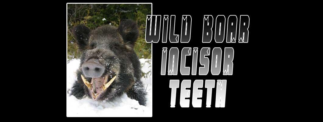 Wild Boar Incisor Teeth Exotic Material